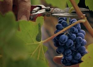 uvas montes